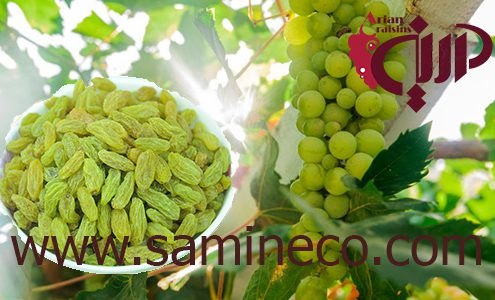 Green raisins price wholesale