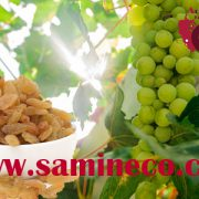 Order golden raisin iran